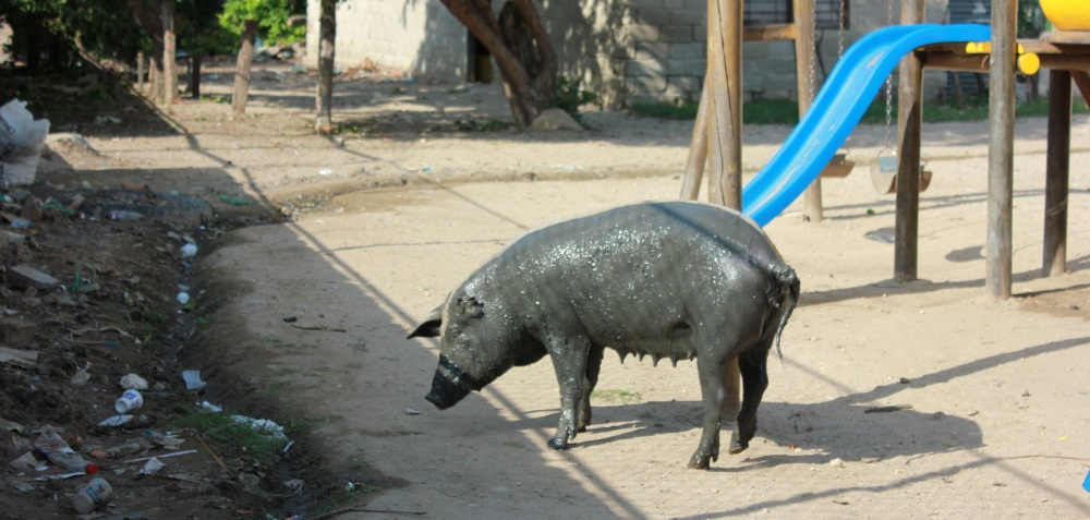 pig in the playground