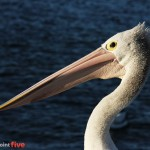 Blog overwhelm pelican